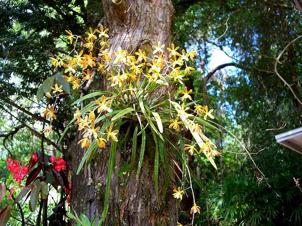 Tampa Butterfly Orchid (Encyclia Tampensis) https://www.sagebud.com/tampa-butterfly-orchid-encyclia-tampensis/