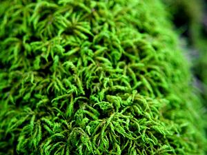Entodon Moss