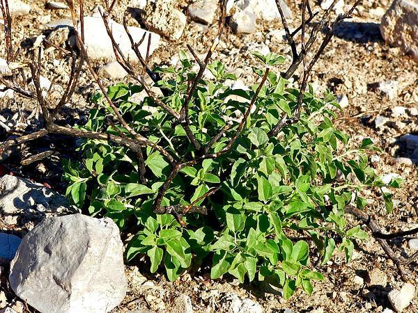 Virgin River Brittlebush (Encelia Virginensis) https://www.sagebud.com/virgin-river-brittlebush-encelia-virginensis