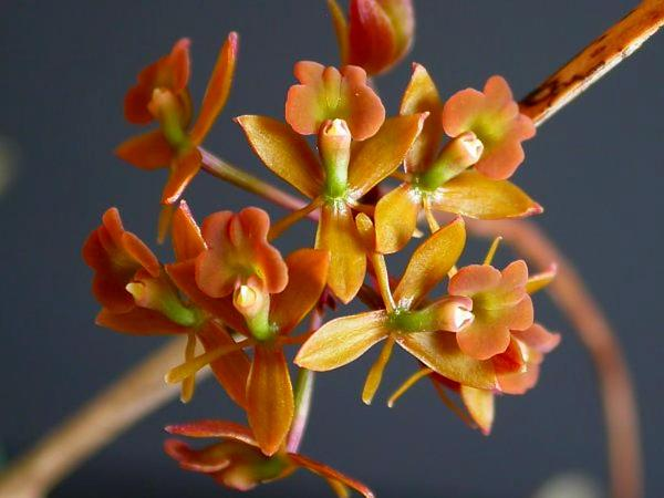 Brown-Flower Butterfly Orchid (Epidendrum Anceps) https://www.sagebud.com/brown-flower-butterfly-orchid-epidendrum-anceps