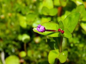 Pimpernel Willowherb