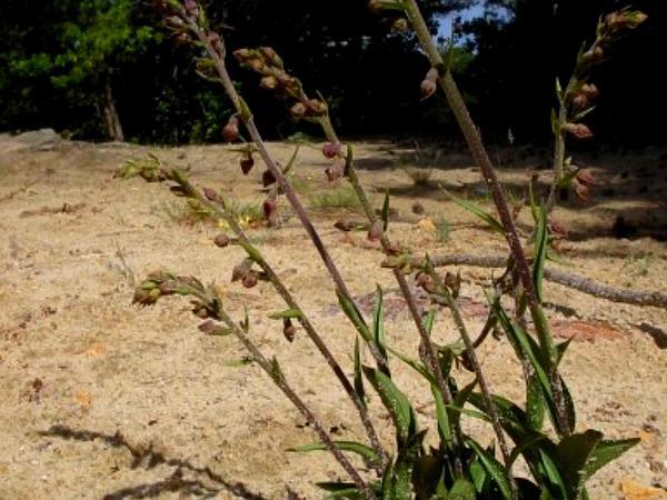 Royal Helleborine (Epipactis Atrorubens) https://www.sagebud.com/royal-helleborine-epipactis-atrorubens