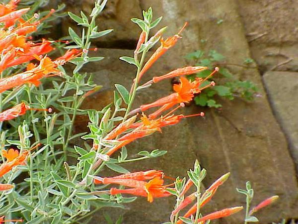 Hummingbird Trumpet (Epilobium Canum) https://www.sagebud.com/hummingbird-trumpet-epilobium-canum