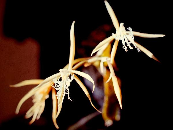 Fringed Star Orchid (Epidendrum Ciliare) https://www.sagebud.com/fringed-star-orchid-epidendrum-ciliare