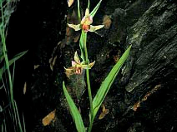 Stream Orchid (Epipactis Gigantea) https://www.sagebud.com/stream-orchid-epipactis-gigantea