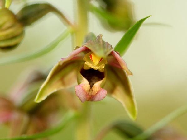 Broadleaf Helleborine (Epipactis Helleborine) https://www.sagebud.com/broadleaf-helleborine-epipactis-helleborine/