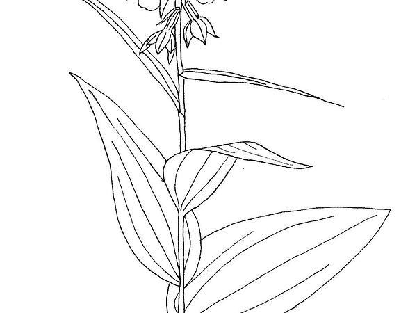 Broadleaf Helleborine (Epipactis Helleborine) https://www.sagebud.com/broadleaf-helleborine-epipactis-helleborine