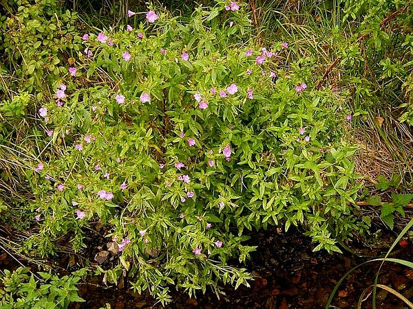 Codlins And Cream (Epilobium Hirsutum) https://www.sagebud.com/codlins-and-cream-epilobium-hirsutum