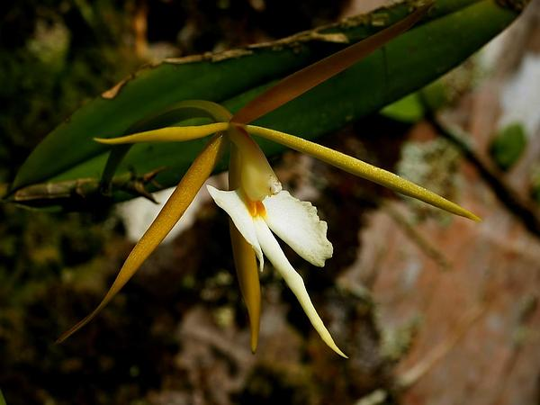 Star Orchid (Epidendrum) https://www.sagebud.com/star-orchid-epidendrum