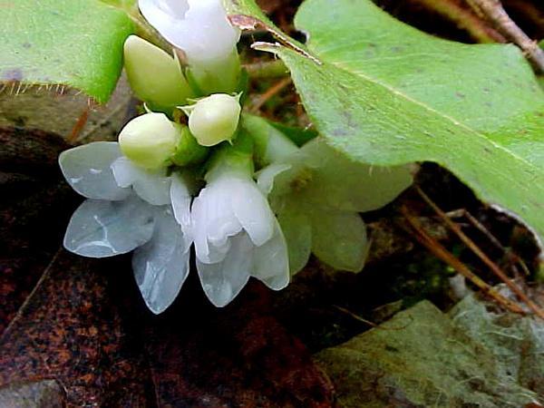 Trailing Arbutus (Epigaea) https://www.sagebud.com/trailing-arbutus-epigaea/
