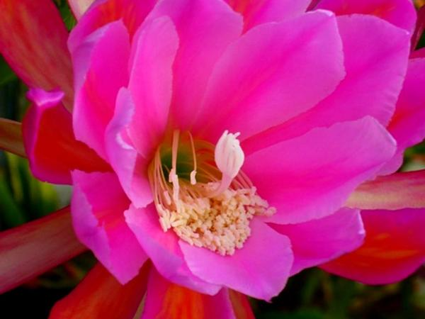 Climbing Cactus (Epiphyllum) https://www.sagebud.com/climbing-cactus-epiphyllum/