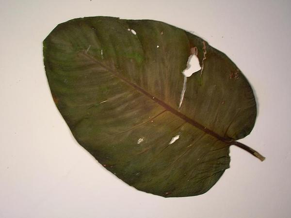 Tongavine (Epipremnum) https://www.sagebud.com/tongavine-epipremnum