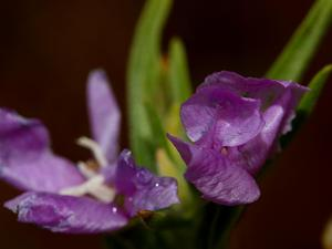 Chaparral Willowherb