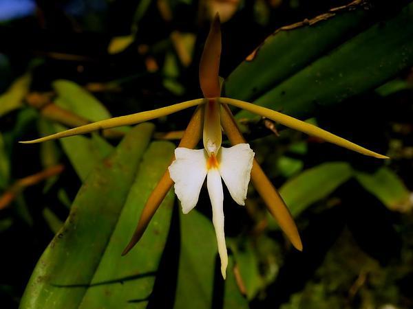 Night Scented Orchid (Epidendrum Nocturnum) https://www.sagebud.com/night-scented-orchid-epidendrum-nocturnum