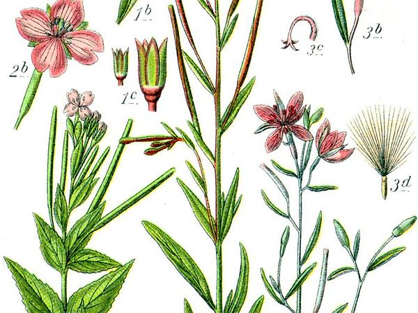 Marsh Willowherb (Epilobium Palustre) https://www.sagebud.com/marsh-willowherb-epilobium-palustre