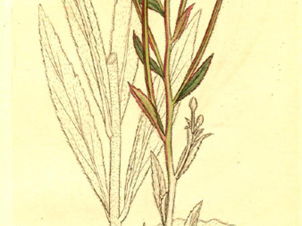 Smallflower Hairy Willowherb (Epilobium Parviflorum) https://www.sagebud.com/smallflower-hairy-willowherb-epilobium-parviflorum