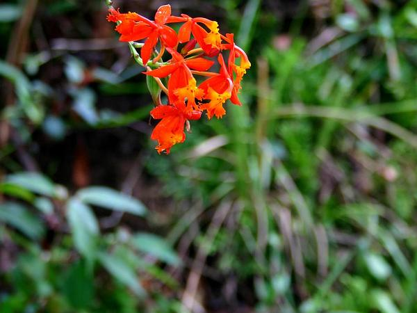 Fire Star Orchid (Epidendrum Radicans) https://www.sagebud.com/fire-star-orchid-epidendrum-radicans/