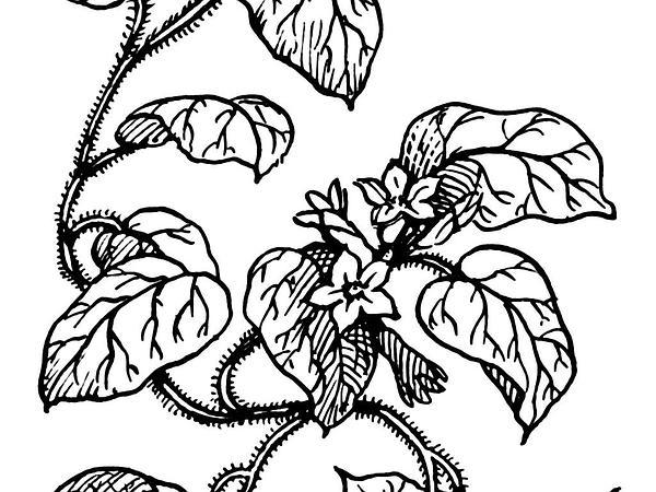 Trailing Arbutus (Epigaea Repens) https://www.sagebud.com/trailing-arbutus-epigaea-repens/