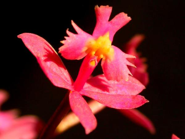 Lopsided Star Orchid (Epidendrum Secundum) https://www.sagebud.com/lopsided-star-orchid-epidendrum-secundum
