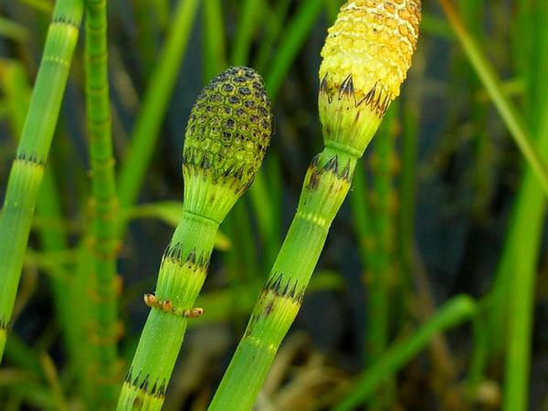 Water Horsetail (Equisetum Fluviatile) https://www.sagebud.com/water-horsetail-equisetum-fluviatile/