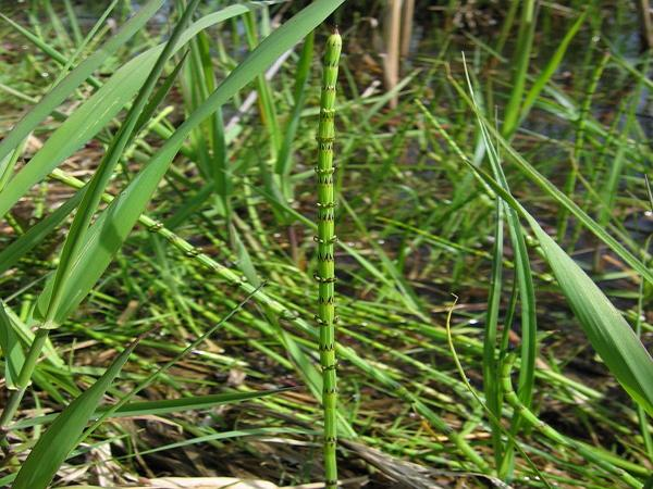 Marsh Horsetail (Equisetum Palustre) https://www.sagebud.com/marsh-horsetail-equisetum-palustre