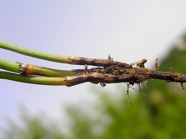 Branched Scouringrush (Equisetum Ramosissimum) https://www.sagebud.com/branched-scouringrush-equisetum-ramosissimum
