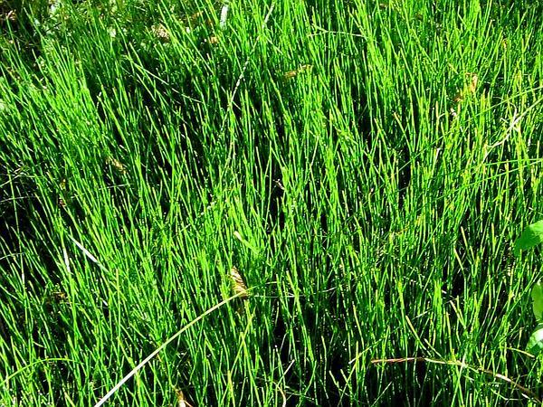 Dwarf Scouringrush (Equisetum Scirpoides) https://www.sagebud.com/dwarf-scouringrush-equisetum-scirpoides