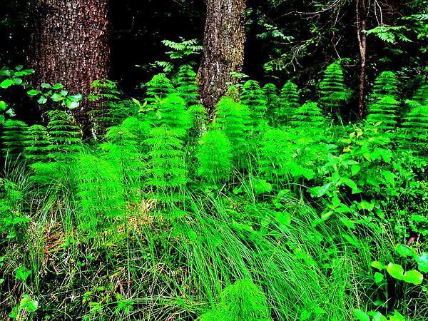 Woodland Horsetail (Equisetum Sylvaticum) https://www.sagebud.com/woodland-horsetail-equisetum-sylvaticum