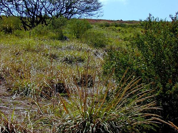 Lovegrass (Eragrostis) https://www.sagebud.com/lovegrass-eragrostis