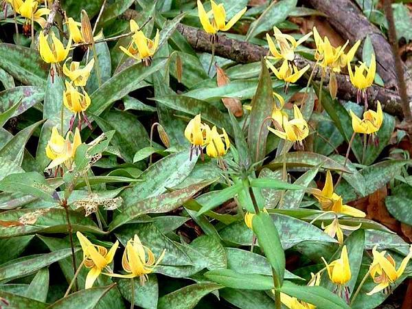 Dogtooth Violet (Erythronium Americanum) https://www.sagebud.com/dogtooth-violet-erythronium-americanum
