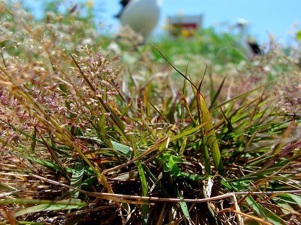 Japanese Lovegrass (Eragrostis Amabilis) https://www.sagebud.com/japanese-lovegrass-eragrostis-amabilis/