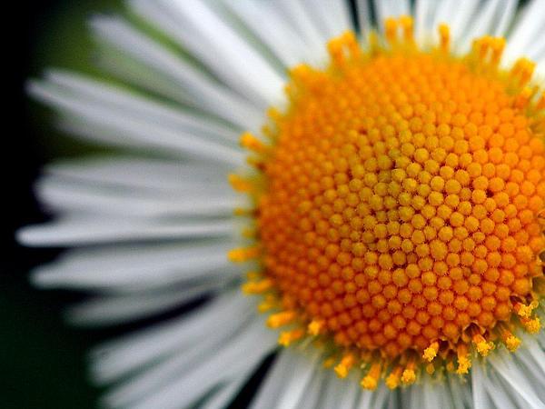 Eastern Daisy Fleabane (Erigeron Annuus) https://www.sagebud.com/eastern-daisy-fleabane-erigeron-annuus
