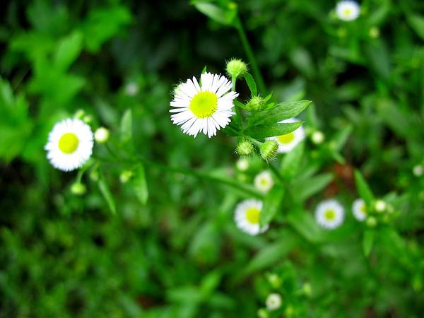 Eastern Daisy Fleabane (Erigeron Annuus) https://www.sagebud.com/eastern-daisy-fleabane-erigeron-annuus/