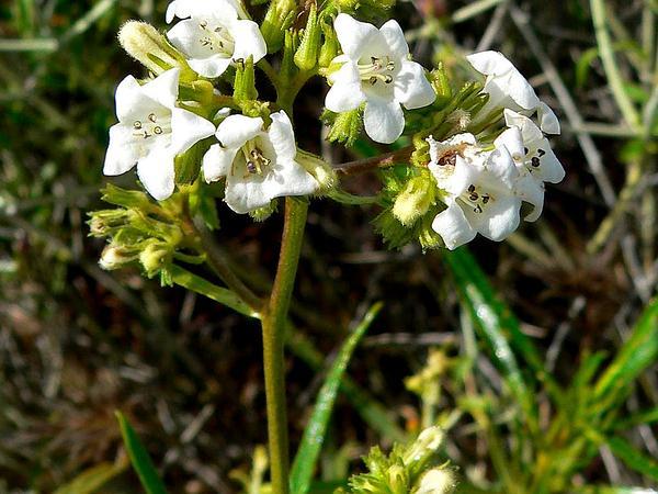 Narrowleaf Yerba Santa (Eriodictyon Angustifolium) https://www.sagebud.com/narrowleaf-yerba-santa-eriodictyon-angustifolium