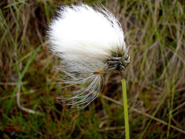 Tall Cottongrass (Eriophorum Angustifolium) https://www.sagebud.com/tall-cottongrass-eriophorum-angustifolium