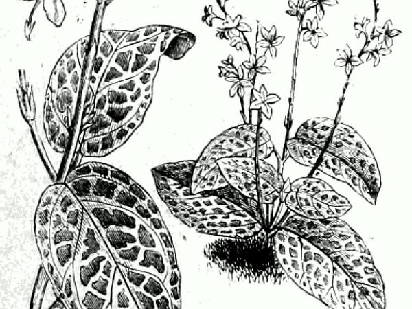 Eranthemum (Eranthemum) https://www.sagebud.com/eranthemum-eranthemum