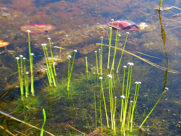 Sevenangle Pipewort (Eriocaulon Aquaticum) https://www.sagebud.com/sevenangle-pipewort-eriocaulon-aquaticum/