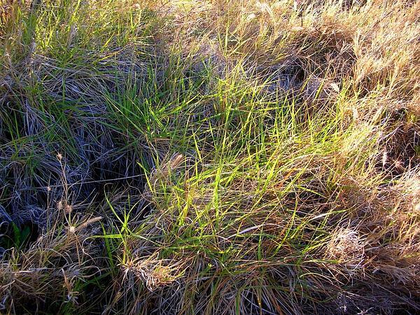 Hardstem Lovegrass (Eragrostis Atropioides) https://www.sagebud.com/hardstem-lovegrass-eragrostis-atropioides