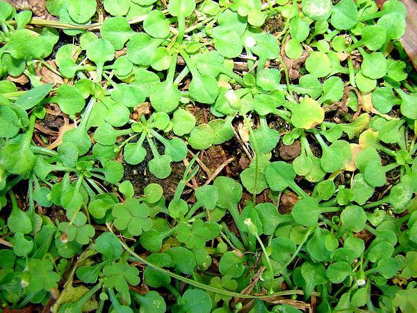 Bellorita (Erigeron Bellioides) https://www.sagebud.com/bellorita-erigeron-bellioides