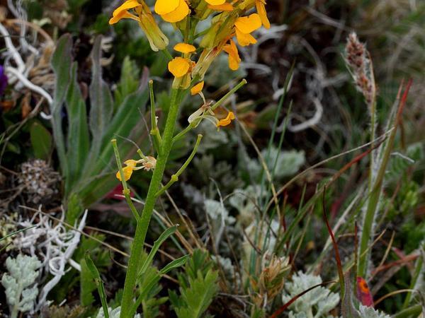 Sanddune Wallflower (Erysimum Capitatum) https://www.sagebud.com/sanddune-wallflower-erysimum-capitatum