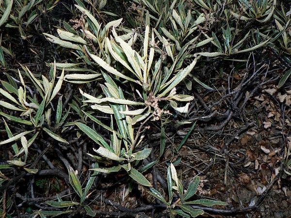 California Yerba Santa (Eriodictyon Californicum) https://www.sagebud.com/california-yerba-santa-eriodictyon-californicum