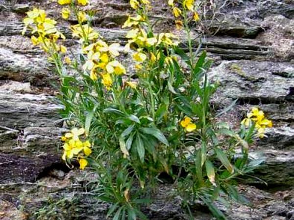 Aegean Wallflower (Erysimum Cheiri) https://www.sagebud.com/aegean-wallflower-erysimum-cheiri/