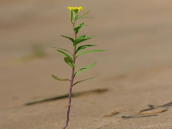 Wormseed Wallflower (Erysimum Cheiranthoides) https://www.sagebud.com/wormseed-wallflower-erysimum-cheiranthoides/