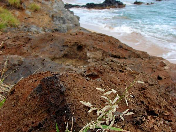 Stinkgrass (Eragrostis Cilianensis) https://www.sagebud.com/stinkgrass-eragrostis-cilianensis