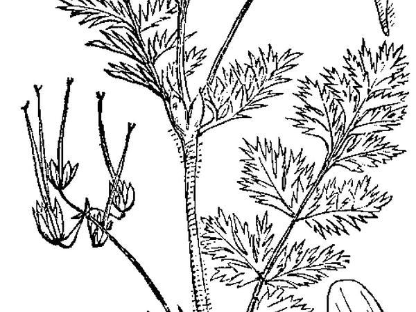 Redstem Stork's Bill (Erodium Cicutarium) https://www.sagebud.com/redstem-storks-bill-erodium-cicutarium