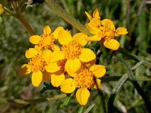 Golden-Yarrow