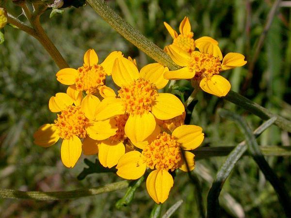 Golden-Yarrow (Eriophyllum Confertiflorum) https://www.sagebud.com/golden-yarrow-eriophyllum-confertiflorum