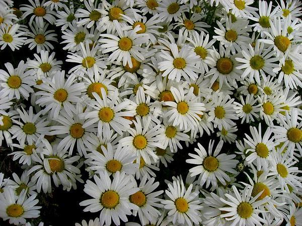 Cutleaf Daisy (Erigeron Compositus) https://www.sagebud.com/cutleaf-daisy-erigeron-compositus