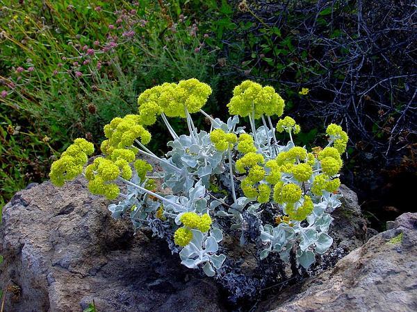 Conejo Buckwheat (Eriogonum Crocatum) https://www.sagebud.com/conejo-buckwheat-eriogonum-crocatum