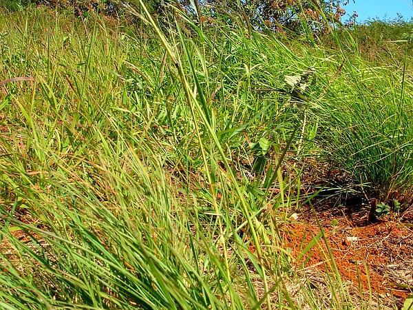 Weeping Lovegrass (Eragrostis Curvula) https://www.sagebud.com/weeping-lovegrass-eragrostis-curvula